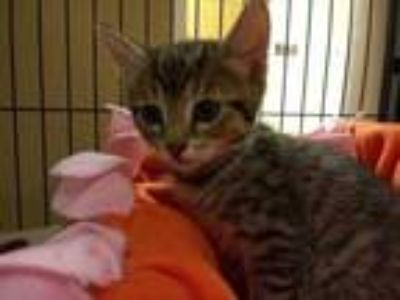Adopt Twix a Tan or Fawn Domestic Shorthair / Domestic Shorthair / Mixed cat in