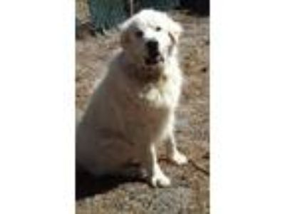 Adopt Ed a Great Pyrenees