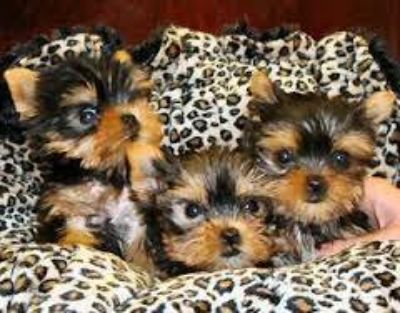 Valentine's Day!!!!!! BABY YORKIES