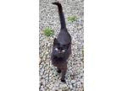 Adopt Meadow a American Shorthair
