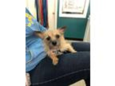 Adopt Harold a Tan/Yellow/Fawn - with Black Norwich Terrier / Silky Terrier /