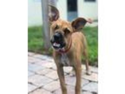 Adopt Peeka Boo a Brown/Chocolate Boxer / Labrador Retriever / Mixed dog in Fort