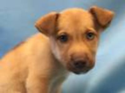 Adopt Buster a Black Mouth Cur, Siberian Husky