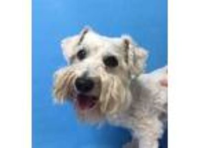 Adopt Felipe a White Bichon Frise / Mixed dog in St. Paul, MN (25833862)