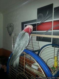 galah cockatoo, semi tame