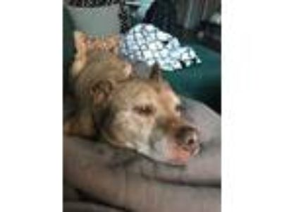 Adopt Sweet Boy a Tan/Yellow/Fawn American Pit Bull Terrier / Mixed dog in
