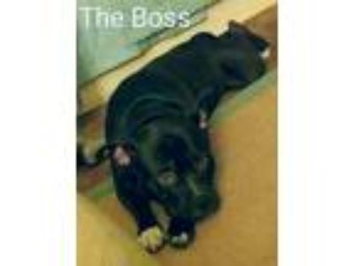 Adopt Boss a Black - with White American Pit Bull Terrier dog in Riverside