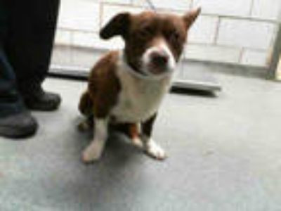 Adopt STRAY a Red/Golden/Orange/Chestnut - with White Corgi / Mixed dog in