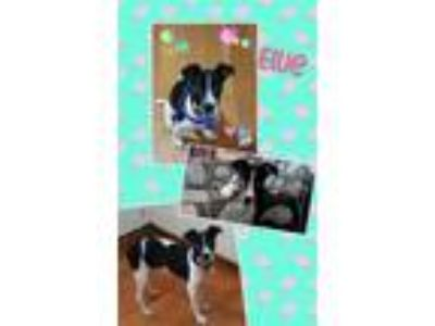Adopt Ellie a White - with Black Border Collie / Terrier (Unknown Type