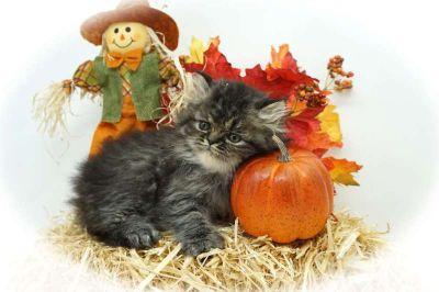 Persian Kittens - Philadelphia Classifieds - Claz org