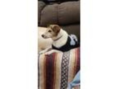 Adopt Unknown a White - with Brown or Chocolate Jack Russell Terrier / Rat