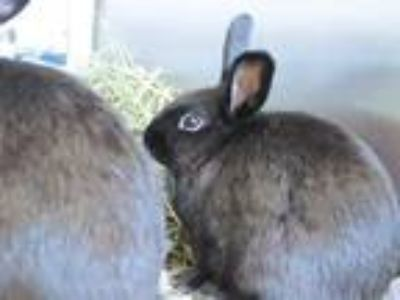 Adopt LACE a Black Netherland Dwarf / Mixed rabbit in Maryland Heights