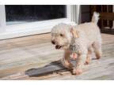 Adopt Gordon a Poodle
