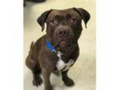 Adopt Dean a Staffordshire Bull Terrier / Mixed dog in Chillicothe