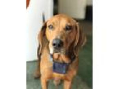 Adopt Chester a Red/Golden/Orange/Chestnut Redbone Coonhound / Mixed dog in
