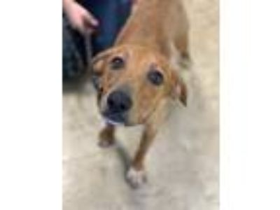 Adopt Tootsie a Brown/Chocolate Mountain Cur / Mixed dog in Chicago