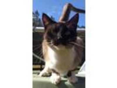 Adopt Ling a Siamese, Snowshoe