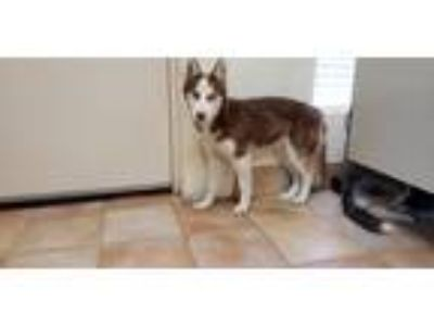 Adopt Hansel a Red/Golden/Orange/Chestnut - with White Husky / Mixed dog in