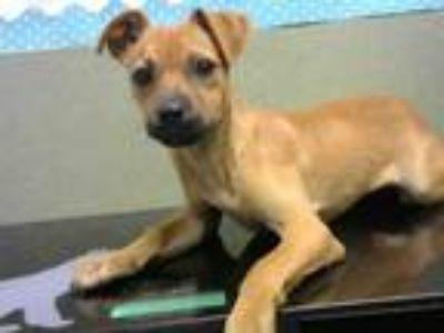 Adopt A496546 a Terrier, Mixed Breed