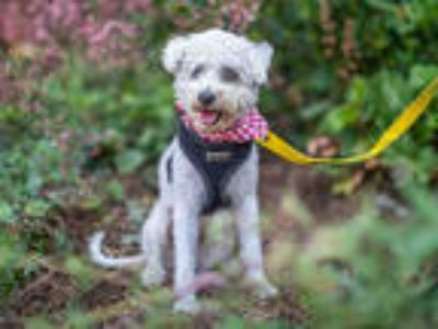 Adopt ANGEL FISH a White Poodle (Miniature) / Mixed dog in Pasadena