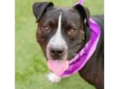 Adopt *GIDEON a Black - with White American Pit Bull Terrier / Mixed dog in Las