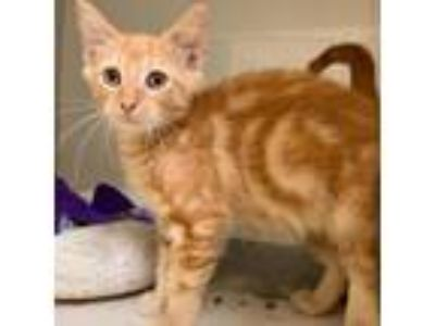 Adopt Ranger a Orange or Red Domestic Shorthair cat in League City