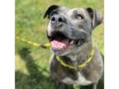 Adopt Scarlet a Gray/Silver/Salt & Pepper - with Black American Pit Bull Terrier