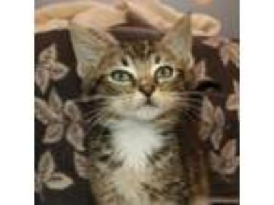 Adopt Muffler a Domestic Short Hair