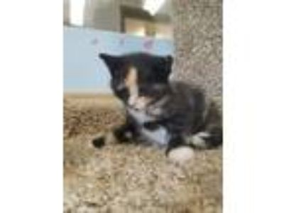 Adopt Rose a Domestic Medium Hair