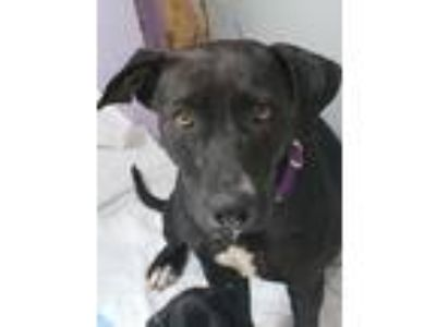 Adopt Maxine a Labrador Retriever / Mixed Breed (Medium) / Mixed dog in Fort