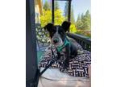 Adopt Tiffany a Cattle Dog, Terrier