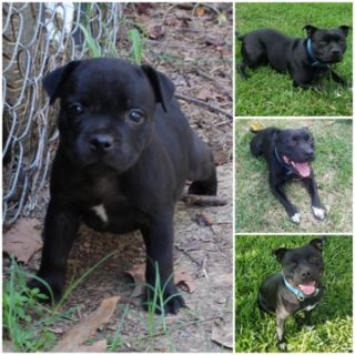 Staffordshire Bull Terrier PUPPY FOR SALE ADN-93986 - Female Staffordshire Bullterrier 8 weeks