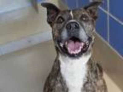 Adopt HARPER a Brindle American Pit Bull Terrier / Mixed dog in Austin