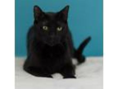 Adopt Batman a All Black Domestic Shorthair (short coat) cat in Houston