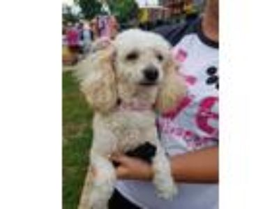 Adopt Jazzy - Colcord, ok a Miniature Poodle