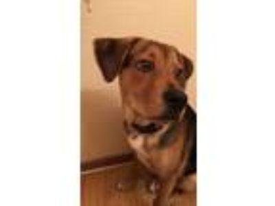 Adopt Buddy a Brown/Chocolate - with Black German Shepherd Dog / Hound (Unknown