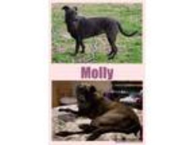 Adopt Molly a Catahoula Leopard Dog