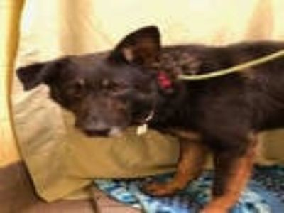 Adopt *BOWSER a Black - with Tan, Yellow or Fawn German Shepherd Dog / Mixed dog