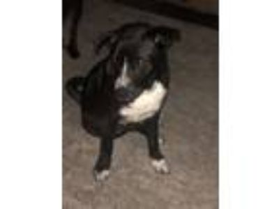 Adopt Kitana a Black - with White Labrador Retriever / Affenpinscher dog in