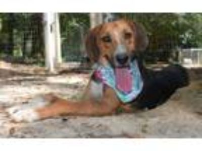 Adopt Goofy a Treeing Walker Coonhound