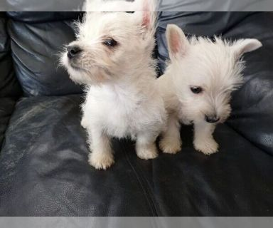 West Highland White Terrier PUPPY FOR SALE ADN-130333 - For Sale Westie Pups