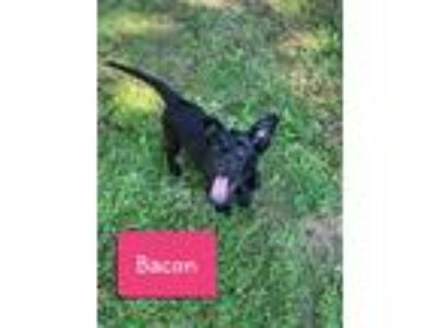 Adopt Bacon a Black Labrador Retriever / Mixed dog in Forest Hill, MD (25878911)