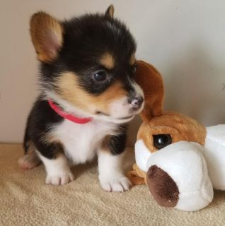 Pembroke Welsh Corgi PUPPY FOR SALE ADN-92796 - AKC Pembroke Welsh Corgi Pups
