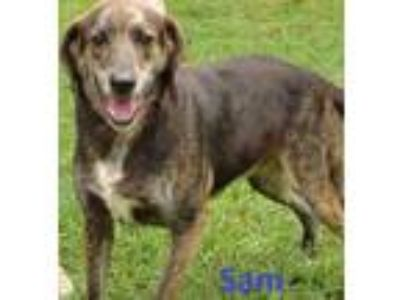 Adopt SAM a Black Hound (Unknown Type) / Mixed dog in Franklin, NC (18607287)