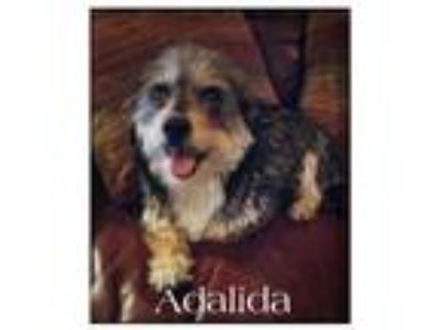 Adopt Adalida a Australian Cattle Dog / Shih Tzu / Mixed dog in Mesa