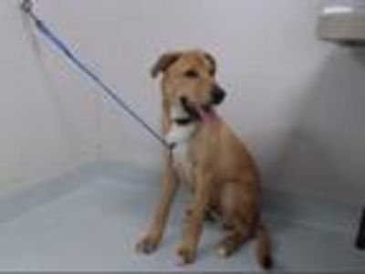 Adopt A142573 a Labrador Retriever, German Shepherd Dog