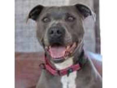 Adopt Jayda a Pit Bull Terrier