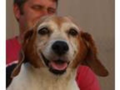 Adopt Betsy a Tricolor (Tan/Brown & Black & White) Beagle / Hound (Unknown Type)