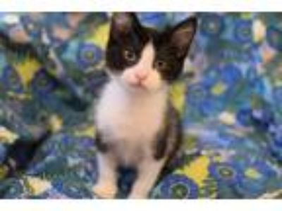 Adopt Dread Pirate Roberts a Domestic Shorthair / Mixed cat in Westmont