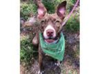 Adopt River a Brown/Chocolate American Pit Bull Terrier / Mixed dog in